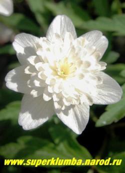 АНЕМОНА ДУБРАВНАЯ «Вестал» (Anemone nemorosa «Vestal») Цветок крупным планом. Эфемероид- листья после цветения постепенно отмирают до следующей весны. ЦЕНА 250 руб (делёнка