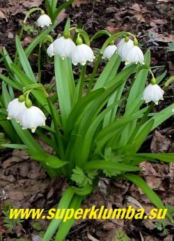 БЕЛОЦВЕТНИК ВЕСЕННИЙ (Leucojum vernum) кустик в  моем саду. ЦЕНА 250 руб (1 шт)