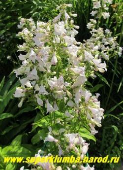 ПЕНСТЕМОН ЖЕСТКОВОЛОСИСТЫЙ (Penstemon hirsutus) цветет воронковидными , бледно-сиреневыми цветками в июле-августе, листья ланцетные опушеные ярко-зеленые, высота до 80 см , Редок в садах. ЦЕНА 200 руб ( 1 дел)