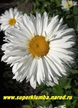 """Нивяник """"РУССКАЯ КРАСАВИЦА"""" (Leucanthemum """"Russkaja Krasavitza"""") полумахровые цветы диаметром 10 см с широкими, рассеченными на концах, лепестками. Высота 70 см.   НЕТ В ПРОДАЖЕ"""