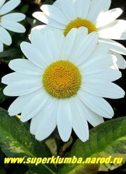 """Нивяник """"ЛИТЛ ПРИНЦЕСС"""" (Leucanthemum """"Little Princess"""" ) цветок крупным планом. НОВИНКА! ЦЕНА 200 руб  (делёнка)"""