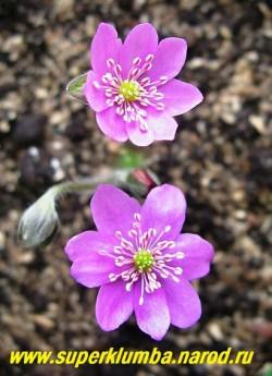 """ПЕЧЕНОЧНИЦА БЛАГОРОДНАЯ """"РОЗЕА"""" (Hepatica nobilis var. rosea)  красивая форма с малиново-розовыми крупными, диаметром 3-4 см, цветами. Высота 12 см, листья трехлопастные кожистые, цветет в апреле-мае. НОВИНКА! НЕТ В ПРОДАЖЕ."""