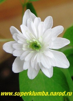 "АНЕМОНЕЛЛА ВАСИЛИСТНИКОВАЯ ""Вайт Дабл""(Anemonella thalictoides ""White double"") Цветок в полуроспуске крупным планом. Диаметр цветка 1,5-2 см. НОВИНКА! НЕТ  В ПРОДАЖЕ"