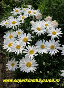 """Нивяник  """"МАКСИМА КЁНИГ"""" (Leucanthemum """"Maxima Kenig"""") фотография куста в нашем саду.  ЦЕНА 200 руб. (делёнка)"""