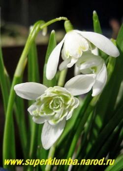 """ГАЛАНТУС БЕЛОСНЕЖНЫЙ """"Флоре плено"""" или ПОДСНЕЖНИК МАХРОВЫЙ (Galanthus nivalis var. Flore Pleno) Махровая форма подснежника, цветки до 3,5 см в диаметре, с приятным ароматом, цветет конце марта — начале апреля около 30 дней., высота 10-12см,  НЕТ В ПРОДАЖЕ"""