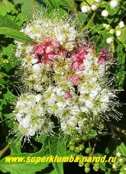 """СПИРЕЯ ЯПОНСКАЯ """"Широбана"""" (Spiraea japonica """"Shirobana"""") Этот невысокий кустарник-хамелеон окраска цветков которого меняется от белой до розовой и красной. Время цветения: июль-август. Высота 0,6-0,8м. НОВИНКА! НЕТ  В ПРОДАЖЕ"""