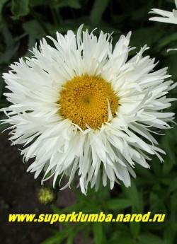 """Нивяник/ромашка """"АГЛАЯ"""" (Leucanthemum """"Aglaia"""") полумахровые цветы диаметром 10 см с тонкими рассеченными лепестками. Высота 60-70 см.  НЕТ  В ПРОДАЖЕ"""