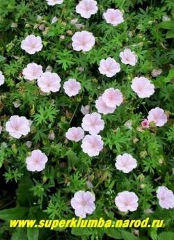 """ГЕРАНЬ КРОВАВО-КРАСНАЯ """"Вижн Пинк"""" (Geranium sanguineum """"Vision Pink"""") низкий до 15 см кустик усыпанный крупными нежно-розовыми цветами с малиновыми прожилками  диаметром 3,5-4 см, зимующая мелкая ажурная листва тоже украшает круглый кустик. Цветет с июня до августа. ЦЕНА 250 руб (1 шт)"""
