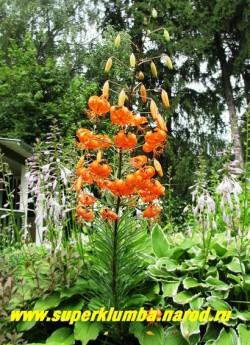 """Лилия тигровая """"ТИГРИНУМ СПЛЕНДЕРС"""" (Lilium tigrinum Tigrinium splendens)  ярко-оранжевые чалмовидные цветки с густым крапом, на одном соцветии 15 -25 цветов диаметром 6-7см., цветет июль-август, высота до 130 см, неприхотливая,   НЕТ В ПРОДАЖЕ."""