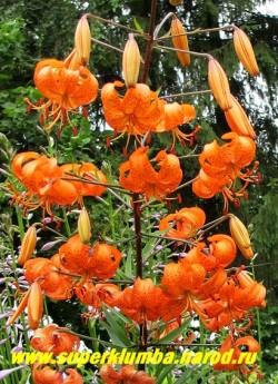 """Лилия тигровая """"ТИГРИНУМ СПЛЕНДЕРС"""" (Lilium tigrinum Tigrinium splendens)  Листва у этого вида тонкая и узкая. НЕТ В ПРОДАЖЕ."""