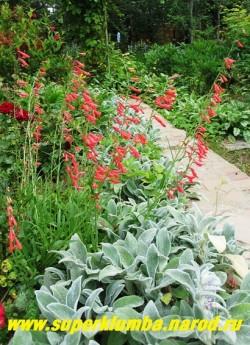 ПЕНСТЕМОН БОРОДАТЫЙ (Penstemon barbatus) Стебли многочисленные прямые, ветвистые, прочные. Листья плотные, ланцетные до линейных. Цветет в июне-августе 35-45 дней  ярко-красными цветами.  Высота 60-90 см, ЦЕНА 250 руб (1 деленка)