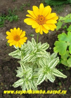 """цветет ГЕЛИОПСИС ПОДСОЛНЕЧНИКОВИДНЫЙ """"Лорейн Саншайн"""" (Heliopsis helianthoides """"Loraine Sunshine"""") Предпочитает сухие, светлые места. Цветы прекрасно стоят в срезке.  ЦЕНА 250 руб (делёнка)"""