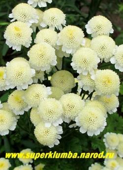 """ПИРЕТРУМ ДЕВИЧИЙ """"Сноу драфт"""" (Matricaria eximia """"Snow Draft"""") соцветия в полном роспуске цветы становятся чисто-белыми. В Подмосковье выращивается как 2- летник, но легко возобновляется самосевом.   НЕТ  В ПРОДАЖЕ"""