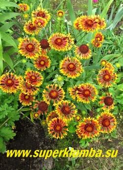 ГАЙЛЛАРДИЯ  ГИБРИДНАЯ (Gaillardia ) многолетнее растение с яркими красно-желтыми цветами диаметром 5-6см. Высота 40-60см. Цветет обильно с июня до заморозков. НОВИНКА!   ЦЕНА 200 руб (делёнка)