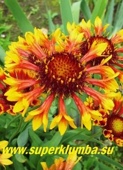ГАЙЛЛАРДИЯ  ГИБРИДНАЯ (Gaillardia ) цветы крупным планом, диаметр цветка 5-6 см  НОВИНКА!   ЦЕНА 200 руб (делёнка)