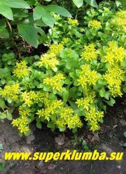 """ОЧИТОК СЕЛЬСКОГО «СУЛТАН» (Sedum selskianum """"Sultan"""") Многочисленные ветвящиеся стебли с зелеными, 2-3 см длиной, лопатчатыми, крупнозубчатыми листьями. Высота 10-20 см. Желтые звездчатые цветки собраны в зонтиковидное соцветие до 6 см в поперечнике. ЦЕНА 150 руб"""
