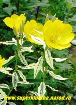 """ЭНОТЕРА  КУСТАРНИКОВАЯ  """"Зильберблатт""""(Oenothera fruticosa """"Silberblatt"""") Цветы крупным планом. Диаметр цветка 4-5 см.  ЦЕНА 300 руб НЕТ НА ВЕСНУ"""