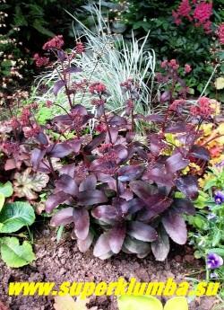 """ОЧИТОК ТЕЛЕФИУМ """"ПИКОЛЕТТЕ"""" (Sedum telephium ''Picolette'') низкий, до 30 см, компактный сорт с бронзово-зелеными листьями с серебристым блеском и плотными округлыми розовыми соцветиями. ЦЕНА 200 руб (1 деленка)"""