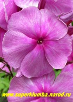 Флокс метельчатый СЕДАЯ ДАМА (Phlox paniculata Sedaya Dama) цветок крупным планом. НОВИНКА! НЕТ НА ВЕСНУ.  ЦЕНА 300 руб (1 шт)