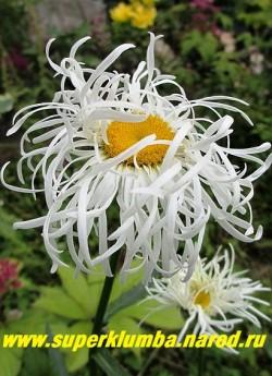 """Нивяник """"СТРАУСИНОЕ ПЕРО"""" (Leucanthemum """"Ostrich''s feather"""") причудливо закрученные тонкие лепестки делают ee похожей на страусиные перья - диаметр цветка 10 см, цветет в июле, Высота 60-75 см.   НЕТ В ПРОДАЖЕ."""