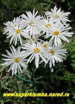 """кустик нивяника """"РИЖСКАЯ"""" (Leucanthemum """"Rizhscaya"""") в моем саду. Долгоцветущая с крепкими стеблями ромашка, хорошо стоит в вазе.  ЦЕНА 500 руб. (делёнка)  НЕТ НА ВЕСНУ"""