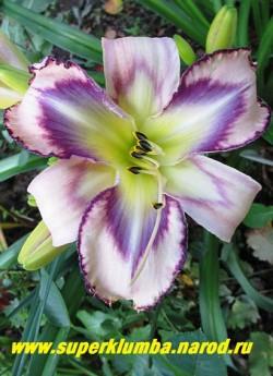 Лилейник ДЕСТИНЕД ТУ СИ (Hemerocallis Destined to See) крупные кремовые цветы с широким глазом, переливающимся от темно до светло сливового цвета и гофрированной темно-сливовой каймой, лимонно-зеленое горло, диаметр цветка 15 см. Высота 60 см  ЦЕНА 400 руб (1 шт)
