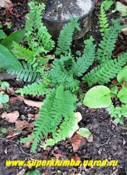 """МНОГОНОЖКА ОБЫКНОВЕННАЯ """"Бифидомультифидум"""" (Polypodium vulgare """"Bifidomultifidum"""") Низкорослый вечнозеленый папоротник с кожистыми, пальчато-сложными листьями до 20 см длиной, расщепленными на гребешки на концах. Корневище стелющееся.  Растет медленно.  ЦЕНА 400 руб"""