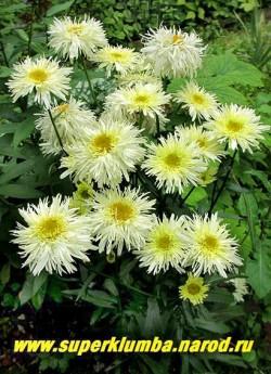 """кустик нивяника """"ГОЛДРАШ"""" (Leucanthemum """"Goldrausch"""") в моем саду. ЦЕНА 350 руб (делёнка)"""