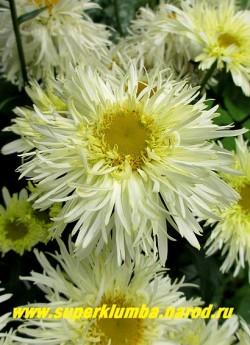"""Нивяник """"ГОЛДРАШ"""" (Leucanthemum """"Goldrausch"""") Крупные махровые цветы с тонкими лепестками лимонно-желтого цвета усиливающегося к центру. Диаметр 9-10см. Высота 45-55 см, цветёт в июле.  ЦЕНА 350 руб (делёнка)"""