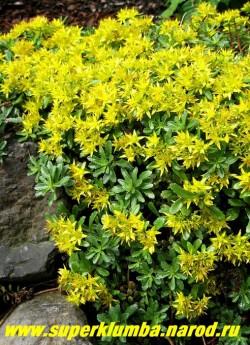 цветет ОЧИТОК МИДДЕНДОРФА вар. диффузум  (Sedum middendorffianum var. diffusum) Цветки звездчатые ярко- желтые, собраны в крупные щитковидные соцветия. Цветет очень обильно в июне-июле. ЦЕНА 150 руб