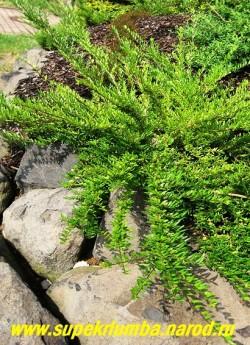 ЖИМОЛОСТЬ ШАПОЧНАЯ (Lonicera pileata). Вечнозеленый кустарник. Его распластанные дугообразные побеги с мелкими кожистыми листочками приподнимаются над землей всего лишь на 20—30 см . Кустарник может быть украшением любой альпийской горки. ЦЕНА 350 руб.