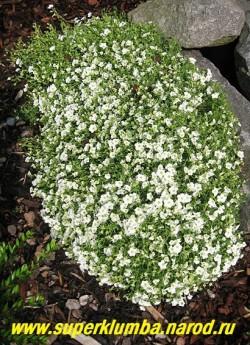 """ПЕСЧАНКА ГОРНАЯ """"Аваланш"""" (Arenaria montana ''Avalanche'') низкий подушковидный многолетник с мелкими ланцетными листьями и многочисленными белыми цветами 2,5-3см в диаметре сплошь покрывающими куст в июне. Морозостойка. НЕТ В ПРОДАЖЕ"""
