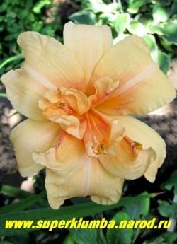 Лилейник ДАБЛ ДРИМ (Hemerocallis Double Dream) махровый красивого персикового цвета с более темным горлом цветок, диаметр цветка 11 см, высота 60 см, цветет июль-сентябрь, НОВИНКА!, ЦЕНА 250 руб (1шт)