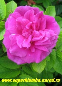 """РОЗА МОРЩИНИСТАЯ """"Малиново-розовая"""" (Rosa rugosa) крупные махровые малиново-розовые цветы с ароматом, высота до 1,5м, цветет июль- август , хороша для живой изгороди, не накрывать на зиму . Лепестки можно использовать для варки вкусного варенья и киселя. НЕТ  В ПРОДАЖЕ"""