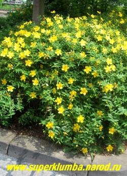 ЗВЕРОБОЙ РАСКИДИСТЫЙ (Hypericum patulum) невысокий кустарник с красноватыми побегами и яйцевидными листьями, обильно цветущий с июля по сентябрь крупными желтыми цветами. Выглядит очень декоративно. На зиму корневую шейку желательно укрыть.  ЦЕНА 350-500 руб ( 3-5 летки)