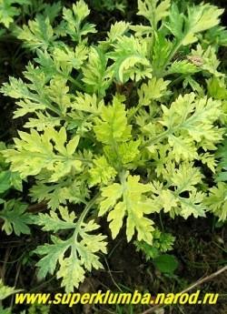 """ПОЛЫНЬ ОБЫКНОВЕННАЯ """" ЖАНЛИМ"""" (Artemisia vulgaris """"Janlim"""") Отличается красивой вариегатной желто-зеленой сильно-рассеченной листвой. Предпочитает бедную невлажную почву на полном солнце.высота 60-80 см, можно стричь. ЦЕНА 150-200 руб  (1 делёнка)"""