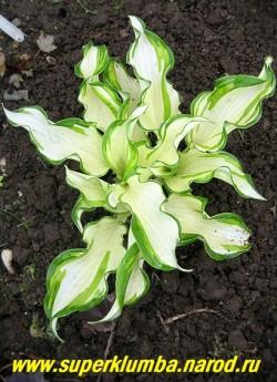 """Хоста КИВИ СПЭМИНТ (Hosta """"Kiwi spermint"""") Размер S. Практически белая хоста с тонким зеленым окаймлением по краю волнистого и скрученного листа. Со второй половины лета белый цвет медленно заполняется зелеными полосками. ЦЕНА 300 руб (1 шт)"""