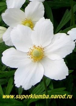 АНЕМОНА ЛЕСНАЯ (Anemone sylvestris) цветок крупным планом. ЦЕНА 150-200 руб (делёнка)