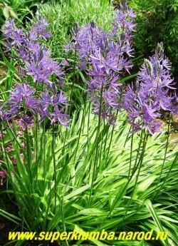 КАМАССИЯ ЛЕЙХТЛИНА (Camassia leichtlinii)  высота с цветоносами до 100 см, цветет в июне около 20 дней фиолетовыми цветами собранными в сколосовидные соцветия.  ЦЕНА 100 руб (1 шт)