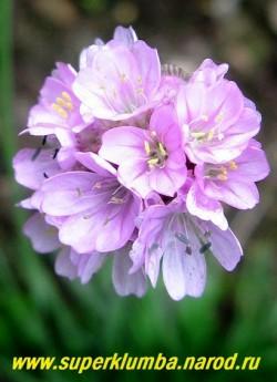 """АРМЕРИЯ ПРИМОРСКАЯ """"Рёсчен"""" (Armeria maritima """"Roeschen"""") сорт с нежно-сиреневыми цветами . Цветоносы высотой до 20 см, цветет все лето с июня по август. НОВИНКА! ЦЕНА 200 руб"""