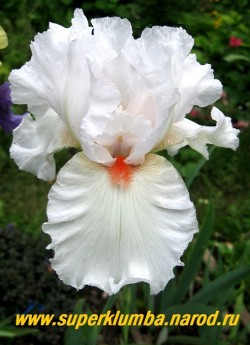 Ирис НОРДИКА (Iris Nordica) крупный чисто-белый с красной бородкой сильно гофрированный цветок. Среднего срока цветения. Награды: НМ-95, АМ-98. высота 70 см,  ЦЕНА 300 руб