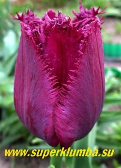 Тюльпан ГОРИЛЛА (Tulip Gorilla) бахромчатый. Лепестки цвета  черной сливы с игольчатой бахромой по краям. Высота 50-60см. НОВИНКА! НЕТ В ПРОДАЖЕ