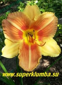 Лилейник  ВЕЙНС ОФ ТРУ (Hemerocallis  Veins of Truth)    Цветки экзотической окраски гофрированные двухцветные, внутренние лепестки абрикосовые с  кирпично-красним напылением  с жёлто-кремовой гофрированной каймой и контрастной бело-кремовой средней линией. Внешние лепестки желто-абрикосовые, с  желто-зеленым горлом.  Ароматный, диаметр 14 см, высота 65 см.  Срок цветения  средний.  НОВИНКА! ЦЕНА 300 руб (1 шт)