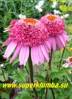 "Эхинацея пурпурная ""РАЗЗМАТАЦЦ"" (Echinacea purpurea ""Razzmatazz"") в начале роспуска. ЦЕНА 300 руб (делёнка)"