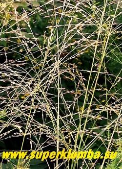 ПРОСО ПРУТЬЕВИДНОЕ РОТШТРАЛЬБУШ (Panicum virgatum Rotstrahlbusch)  соцветия крупным планом.  НЕТ В ПРОДАЖЕ