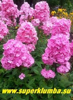 Флокс метельчатый ВИКИНГ (Phlox paniculata Wiking) цветущий куст в саду. Очень красив! ЦЕНА 250 руб (1 шт ) или 500 руб (кустик : 3-4шт)