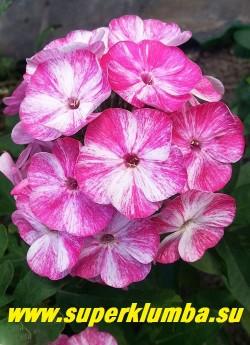 Флокс метельчатый ЧЕРРИЗ ИН МИЛК (Phlox paniculata Cherries in Milk) Происхождение неизвестно, СП, 50-60/3,2. Интересный флокс с необычной расцветкой. Цветы колесовидной формы белые испещрены малиновыми штрихами по всему полю лепестка. Соцветие коническое, плотное. ЦЕНА 250 руб (1 шт) или 500 руб  (куст: 3-4 шт)