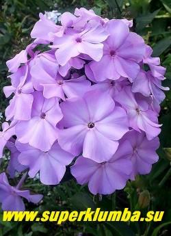 Флокс метельчатый СИРИУС/ ЛАЙЛАК ТАЙМ (Phlox paniculata Sirius/ Lilac Time) B.Symons-Jeune, 1956. С, 80/5,0; Светло-лиловый днем, утром и вечером приобретает холодный голубой цвет. Цветки очень крупные, соцветие красивое овально-коническое. Лепестки слегка волнистые. Не выгорает на солнце. Куст прочный. Мощный! ЦЕНА 400 руб   (1 шт)
