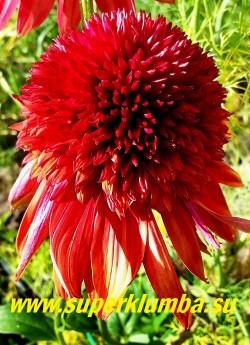 """Эхинацея """"ЭКСЦЕНТРИК"""" (Echinacea """"Eccentric"""")  сорт  с крупными сильномахровыми помпонные цветами. Цветы при открытии имеют насыщенный красный цвет с оттенками фиолетового, постепенно переходя в огненно-оранжевые и алые тона. Цветки распускаются неодновременно, поэтому на растении наблюдается фейерверк различных оттенков. Кустик компактный, высотой 60 см., цветет с июля по сентябрь   НЕТ В ПРОДАЖЕ"""