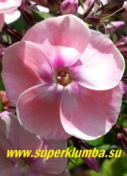 Флокс метельчатый ИЗАБЕЛЬ (Phlox paniculata Isabelle) Цветок крупным планом. ЦЕНА 400 руб (1 шт) НЕТ НА ВЕСНУ
